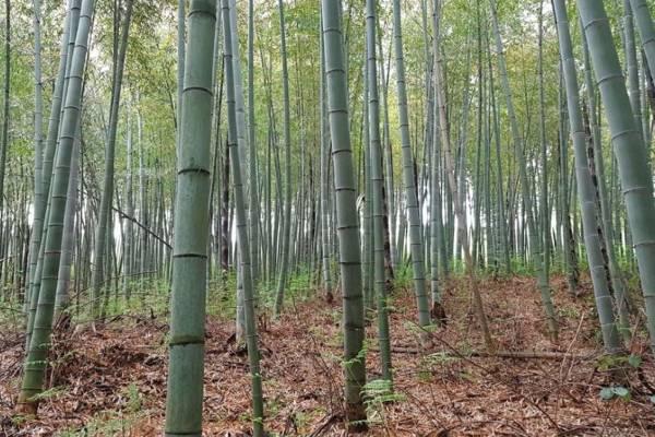Bamboepalen bos foto